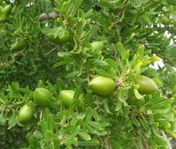 Arganbaum Arganfruechte